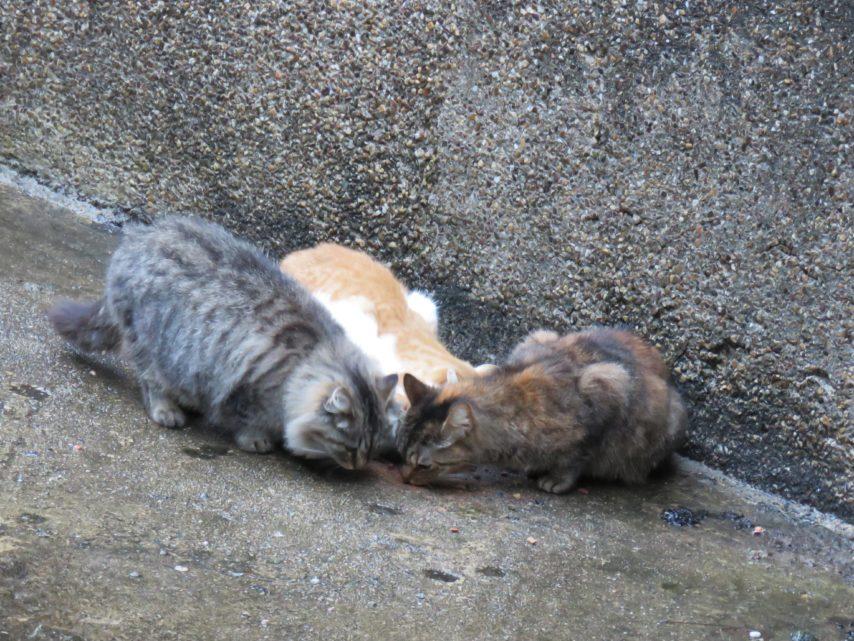 Opération chats errants: volontaires bienvenus !
